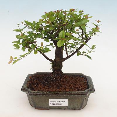 Kryty bonsai - Sagerécie thea - Sagerécie thea - 1