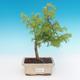 Outdoor bonsai - Pseudolarix amabilis - Pamodřín - 1/2