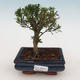 Pokój Bonsai - Buxus harlandii - Bukszpan korkowy - 1/4