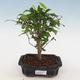 Kryte bonsai-PUNICA granatum nana-granat - 1/4