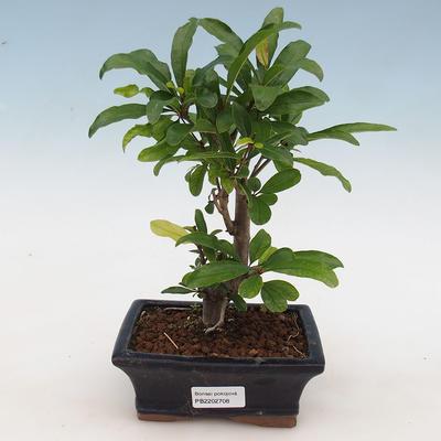 Kryte bonsai-PUNICA granatum nana-granat - 1