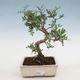 Kryty bonsai-pistacje - 1/3