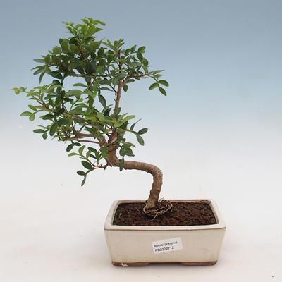 Kryty bonsai-pistacje - 1