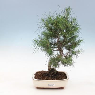 Kryty bonsai-Pinus halepensis-sosna Aleppo