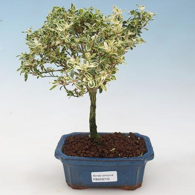 Kryty bonsai - Serissa foetida Variegata - Drzewo Tysiąca Gwiazd