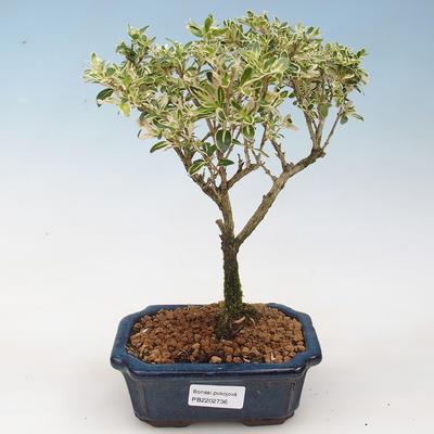 Kryte bonsai - Serissa foetida Variegata - Drzewo Tysiąca Gwiazd