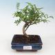 Kryty bonsai - Zantoxylum piperitum - Mięta pieprzowa - 1/4