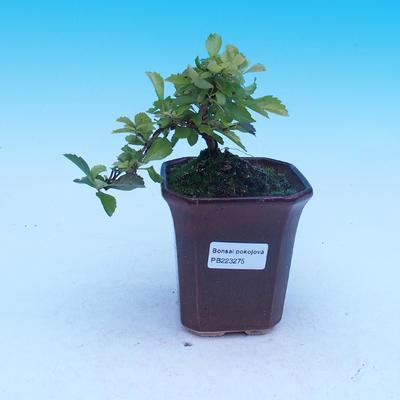bonsai Room - Duranta erecta Aurea - 1