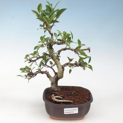 Indoor bonsai - Ficus retusa - figowiec drobnolistny - 1
