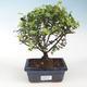 Kryty bonsai - Sagerécie thea - Sagerécie thea - 1/4