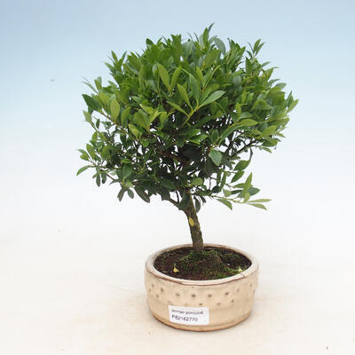 Kryty bonsai - Ilex crenata - Holly