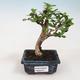 Bonsai do wnętrz - Carmona macrophylla - Herbata Fuki - 1/5
