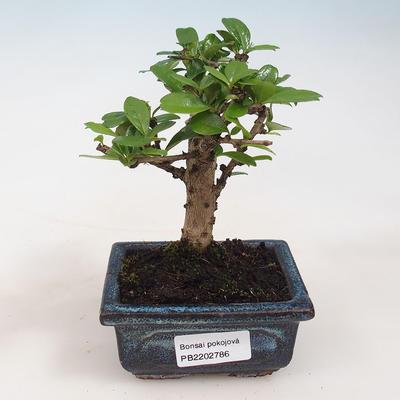 Bonsai do wnętrz - Carmona macrophylla - Herbata Fuki - 1