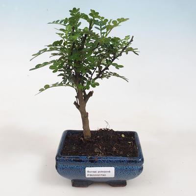 Kryty bonsai - Zantoxylum piperitum - ziarno pieprzu - 1