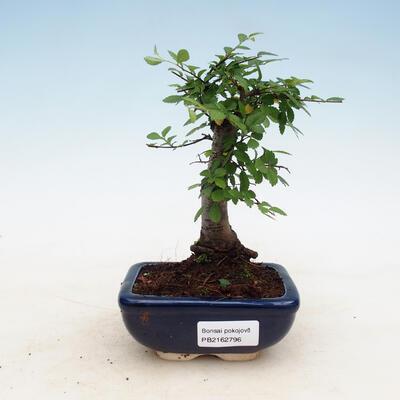 Bonsai do wnętrz - Ulmus parvifolia - Wiąz drobnolistny - 1