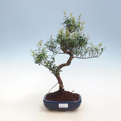 Kryty bonsai - Syzygium - Pimentovník PB2191557 - 1