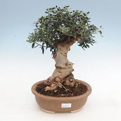 Bonsai do wnętrz - Olea europaea sylvestris - europejska oliwa drobnolistna - 1