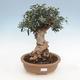 Bonsai do wnętrz - Olea europaea sylvestris - europejska oliwa drobnolistna - 1/3