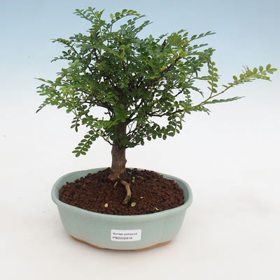 Kryty bonsai - Zantoxylum piperitum - Peppercorn - 1