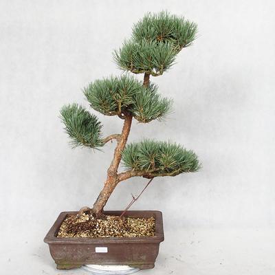 Outdoor bonsai - Pinus sylvestris Watereri - sosna zwyczajna VB2019-26852 - 1
