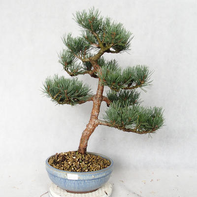 Outdoor bonsai - Pinus sylvestris Watereri - sosna zwyczajna VB2019-26859 - 1