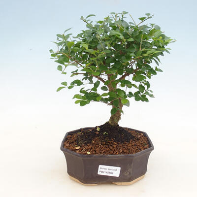 Indoor bonsai -Ligustrum retusa - dziób ptaka drobnolistnego - 1
