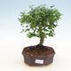 Indoor bonsai -Ligustrum retusa - dziób ptaka drobnolistnego - 1/3
