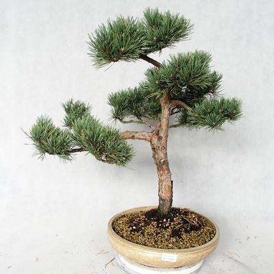 Outdoor bonsai - Pinus sylvestris Watereri - sosna zwyczajna VB2019-26868 - 1