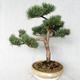 Outdoor bonsai - Pinus sylvestris Watereri - sosna zwyczajna VB2019-26868 - 1/4