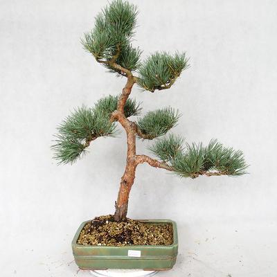 Outdoor bonsai - Pinus sylvestris Watereri - sosna zwyczajna VB2019-26877 - 1