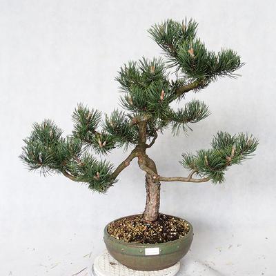 Outdoor bonsai - Pinus Mugo - Pine kneel VB2019-26886 - 1