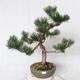 Outdoor bonsai - Pinus Mugo - Pine kneel VB2019-26886 - 1/4