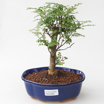 Kryty bonsai - Zantoxylum piperitum - Peppercorn - 1