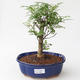 Kryty bonsai - Zantoxylum piperitum - Peppercorn - 1/4