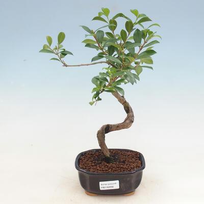 Indoor Bonsai - Australian Cherry - Eugenia uniflora