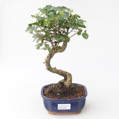 Indoor bonsai -Ligustrum chinensis - dziób ptaka