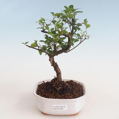 Kryty bonsai - Sagerécie thea - Sagerécie thea 412-PB2191300 - 1
