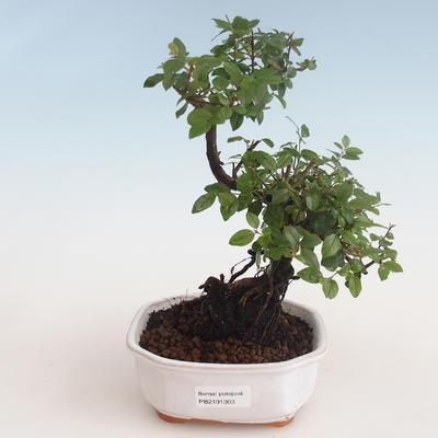 Kryty bonsai - Sagerécie thea - Sagerécie thea 412-PB2191303 - 1