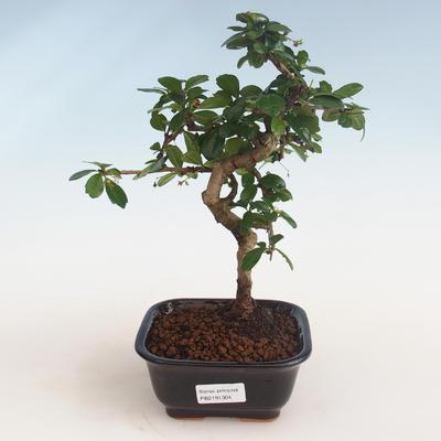 Kryty bonsai - Carmona macrophylla - Tea fuki PB2191304 - 1