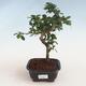 Kryty bonsai - Carmona macrophylla - Tea fuki PB2191304 - 1/5