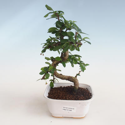 Kryty bonsai - Carmona macrophylla - Tea fuki PB2191306 - 1