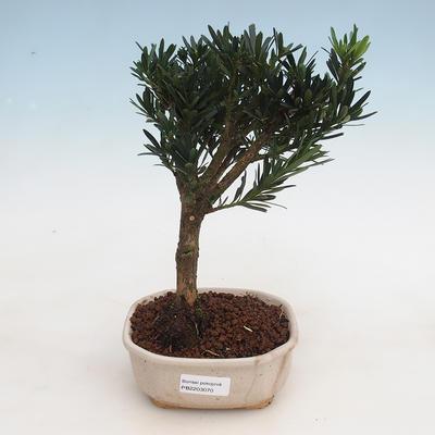 Kryty bonsai - Podocarpus - Kamień tys