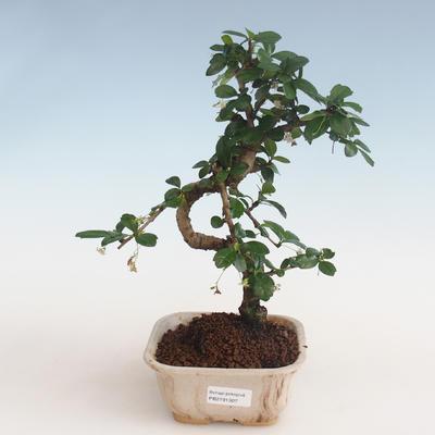 Kryty bonsai - Carmona macrophylla - Tea fuki PB2191307 - 1