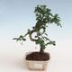 Kryty bonsai - Carmona macrophylla - Tea fuki PB2191307 - 1/5