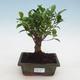 Indoor bonsai - Ficus retusa - figowiec drobnolistny - 1/2