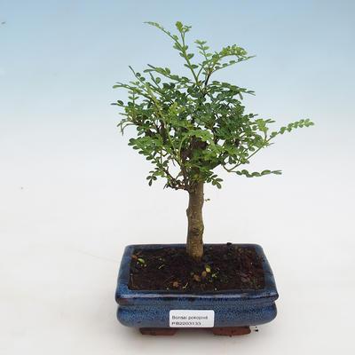 Kryty bonsai - Zantoxylum piperitum - Mięta pieprzowa - 1