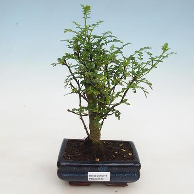 Bonsai do wnętrz - Zantoxylum piperitum - ziarno pieprzu - 1