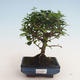 Kryty bonsai - Carmona macrophylla - Tea fuki 412-PB2191337 - 1/5