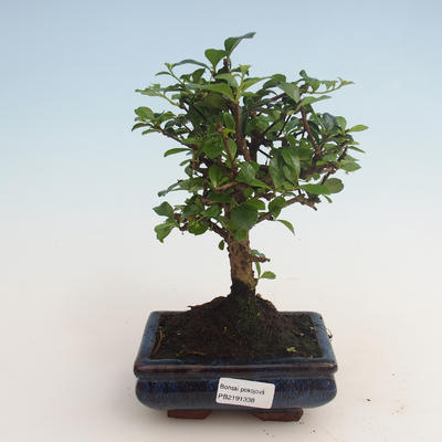 Kryty bonsai - Carmona macrophylla - Tea fuki 412-PB2191338 - 1