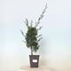 Outdoor bonsai -Malus Halliana - owocach jabłoni - 1/5